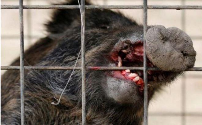 caught-video-radioactive-wild-boar-roam-fukushima